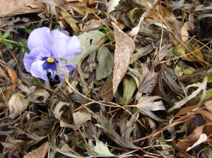 Purple pansy in dead leaves